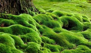 Ekstrak lumut — Komposisi Titan Gel